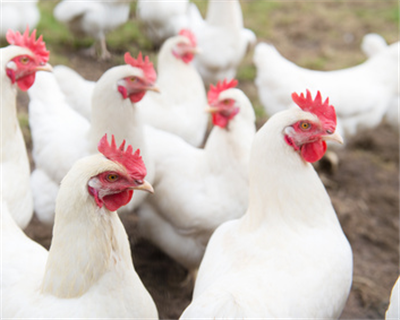 Ukrainian poultry producer MHP secures loan from IFC