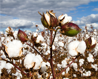 BOAD and African bank club arrange financing for Benin cotton crop