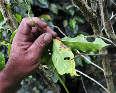 The big rust - an update on the Latin American coffee leaf rust outbreak