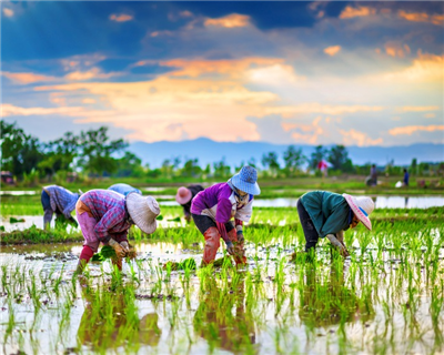 Cambodia's Golden Rice gets loan through Proparco